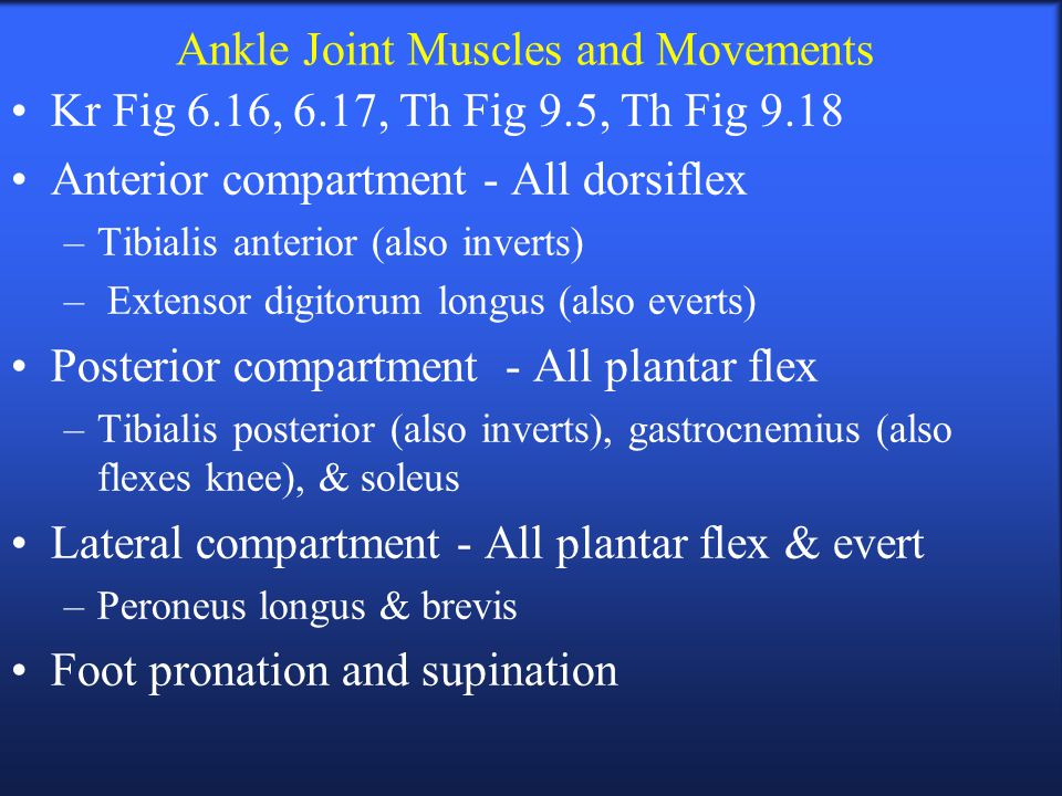 Ankle Joint Muscles and Movements