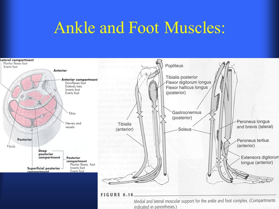 Ankle and Foot Muscles: