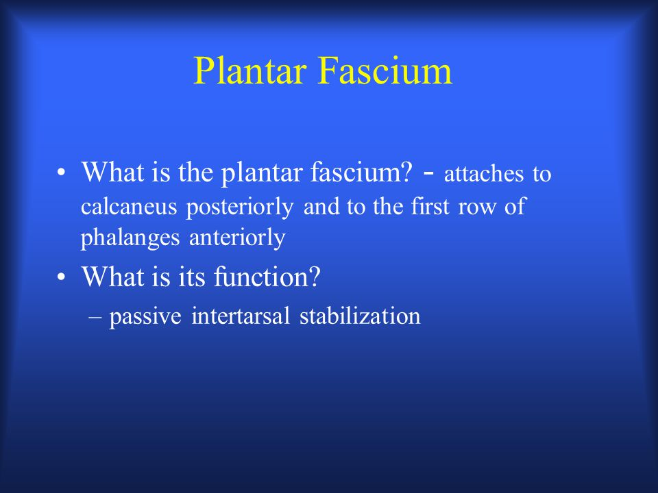 Plantar Fascium What is the plantar fascium - attaches to calcaneus posteriorly and to the first row of phalanges anteriorly.