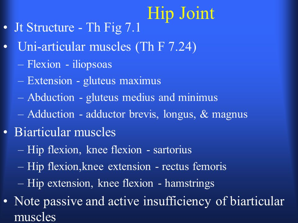 Hip Joint Jt Structure - Th Fig 7.1 Uni-articular muscles (Th F 7.24)