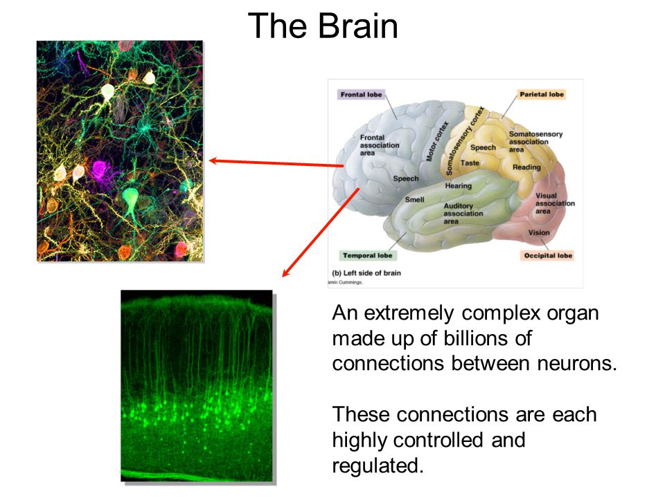 The Brain An extremely complex organ made up of billions of connections between neurons.
