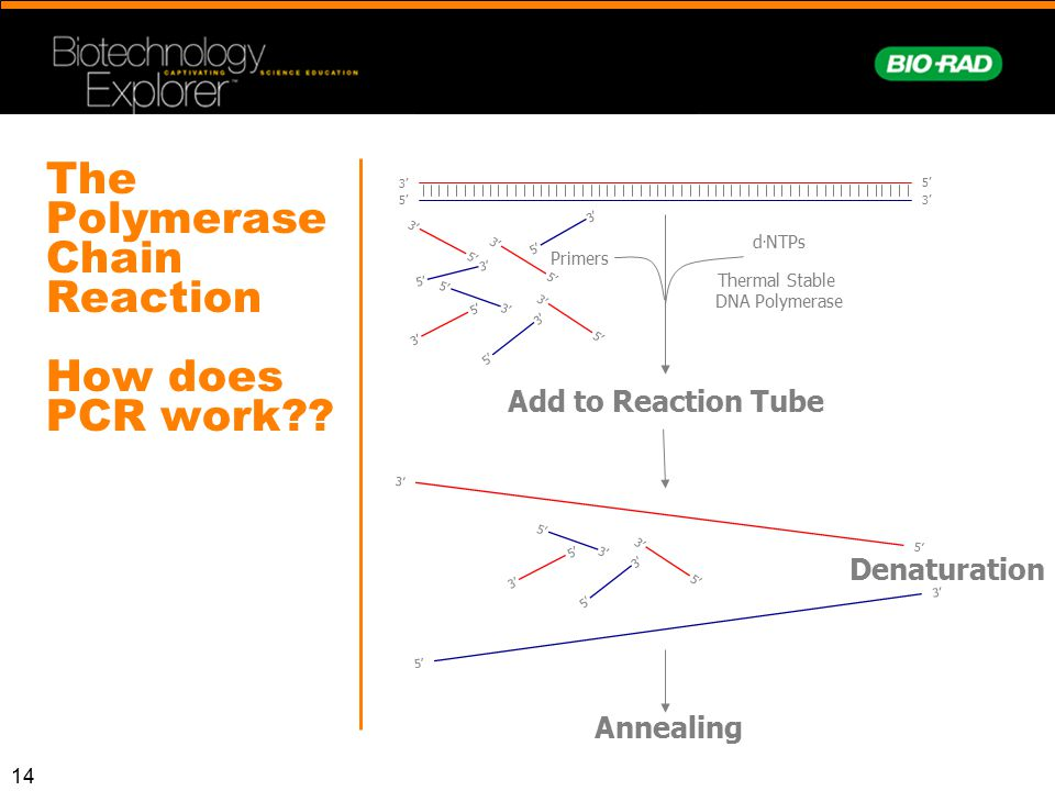 The Polymerase Chain Reaction How does PCR work