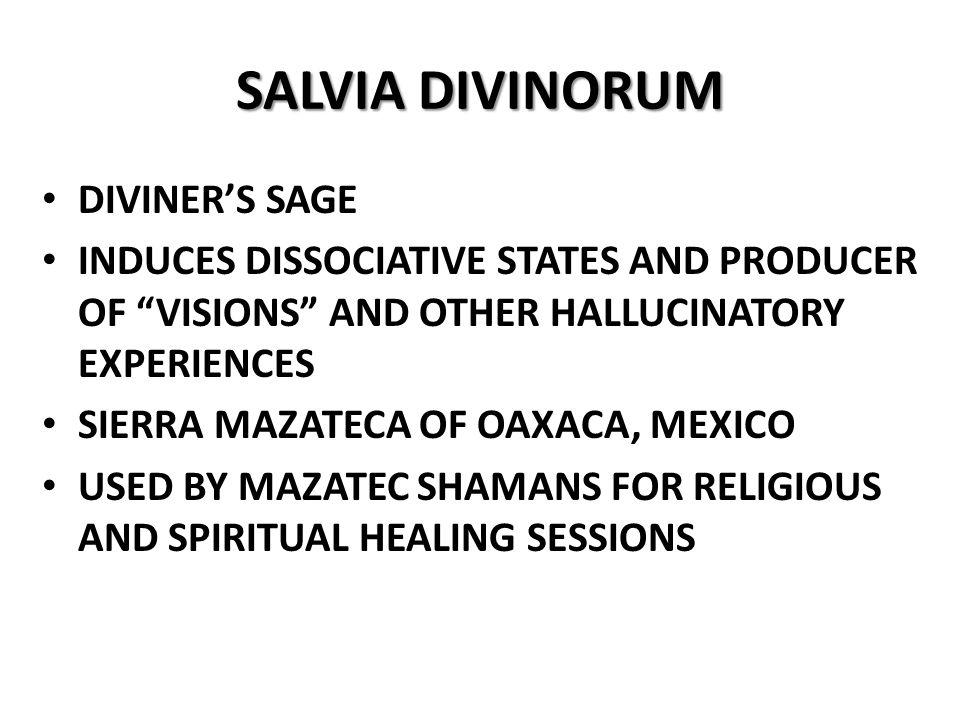 SALVIA DIVINORUM DIVINER'S SAGE