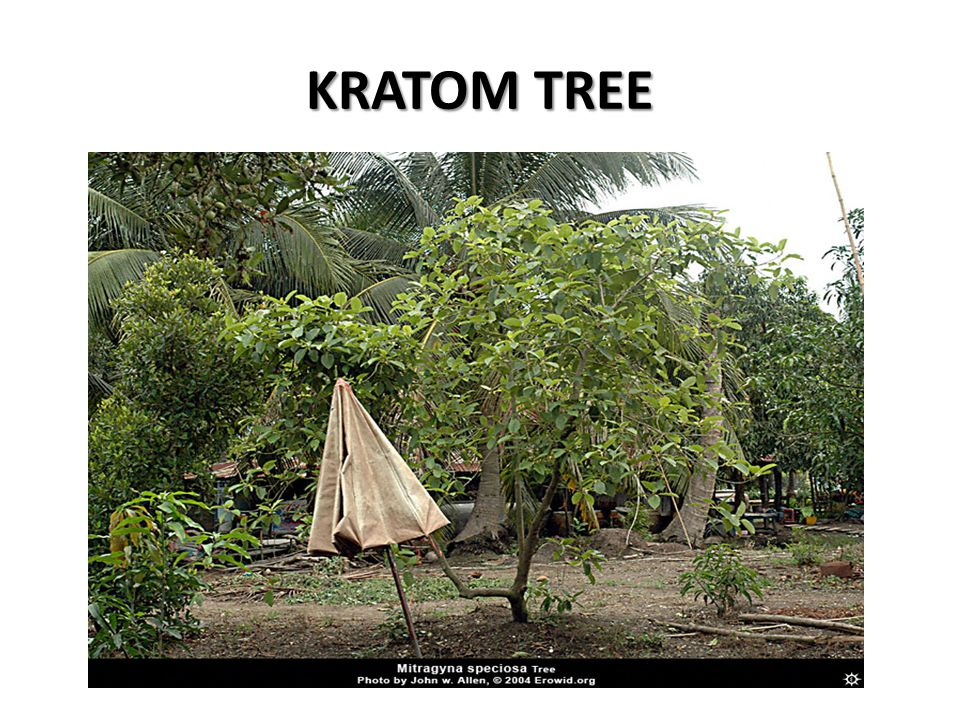 KRATOM TREE