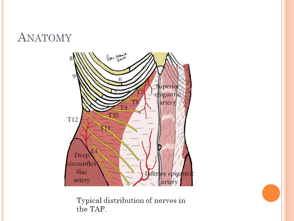 Anatomy Typical distribution of nerves in the TAP.