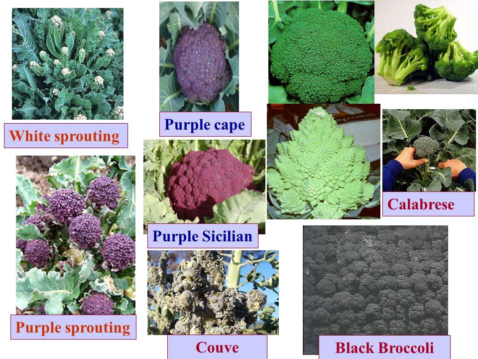 Purple cape White sprouting Calabrese Purple Sicilian Purple sprouting Couve Black Broccoli