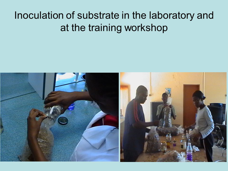Inoculation of substrate in the laboratory and at the training workshop