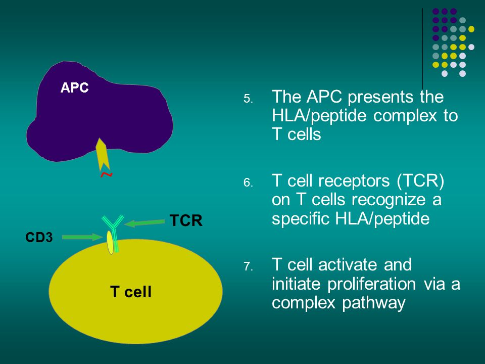 The APC presents the HLA/peptide complex to T cells