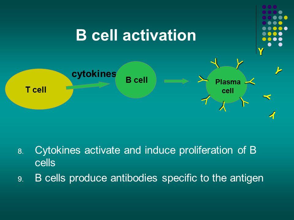 B cell activation Y Y Y Y Y Y Y