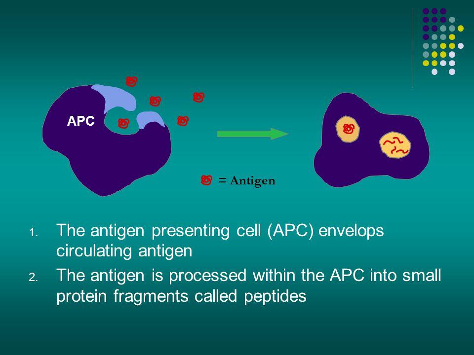 The antigen presenting cell (APC) envelops circulating antigen