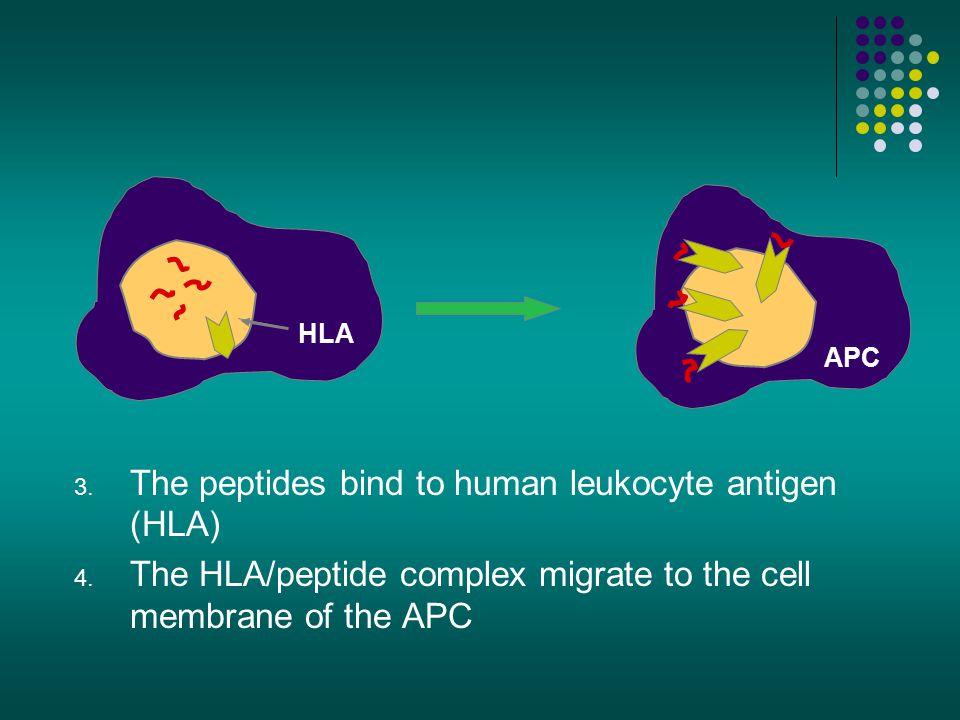 The peptides bind to human leukocyte antigen (HLA)