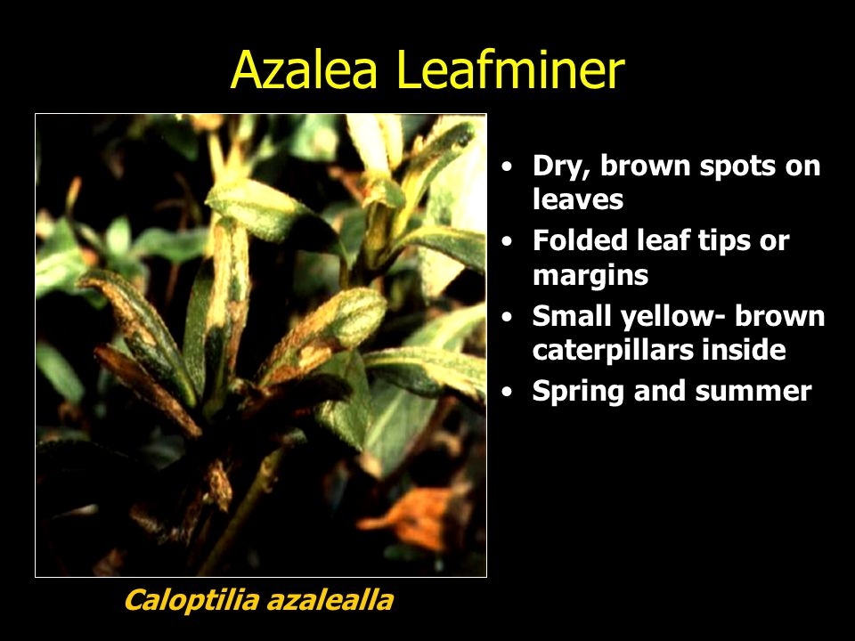 Azalea Leafminer Dry, brown spots on leaves