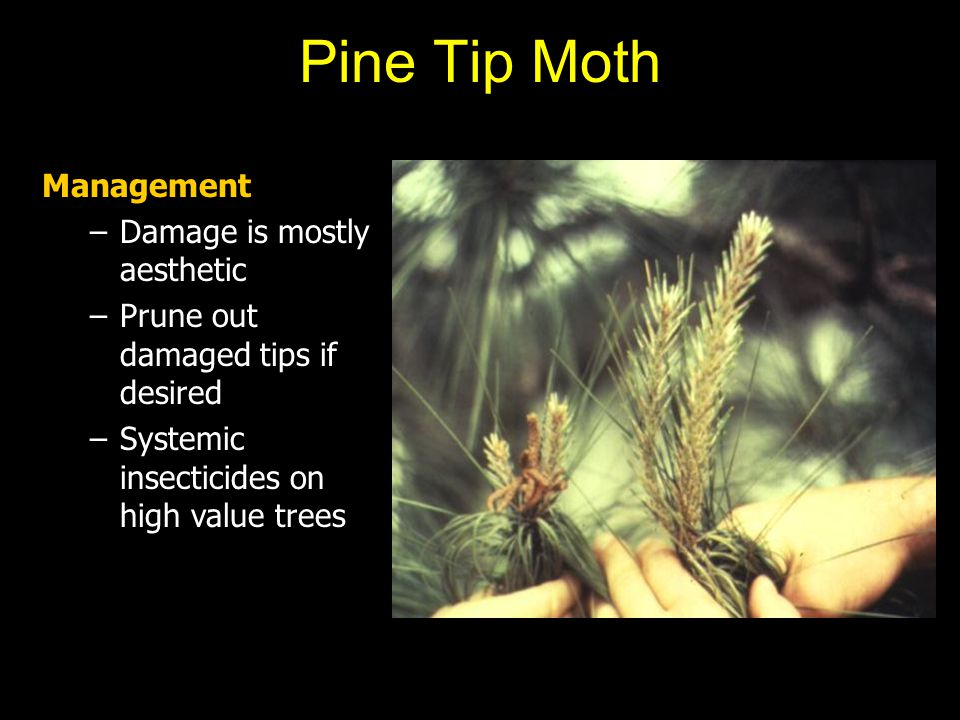 Pine Tip Moth Management Damage is mostly aesthetic