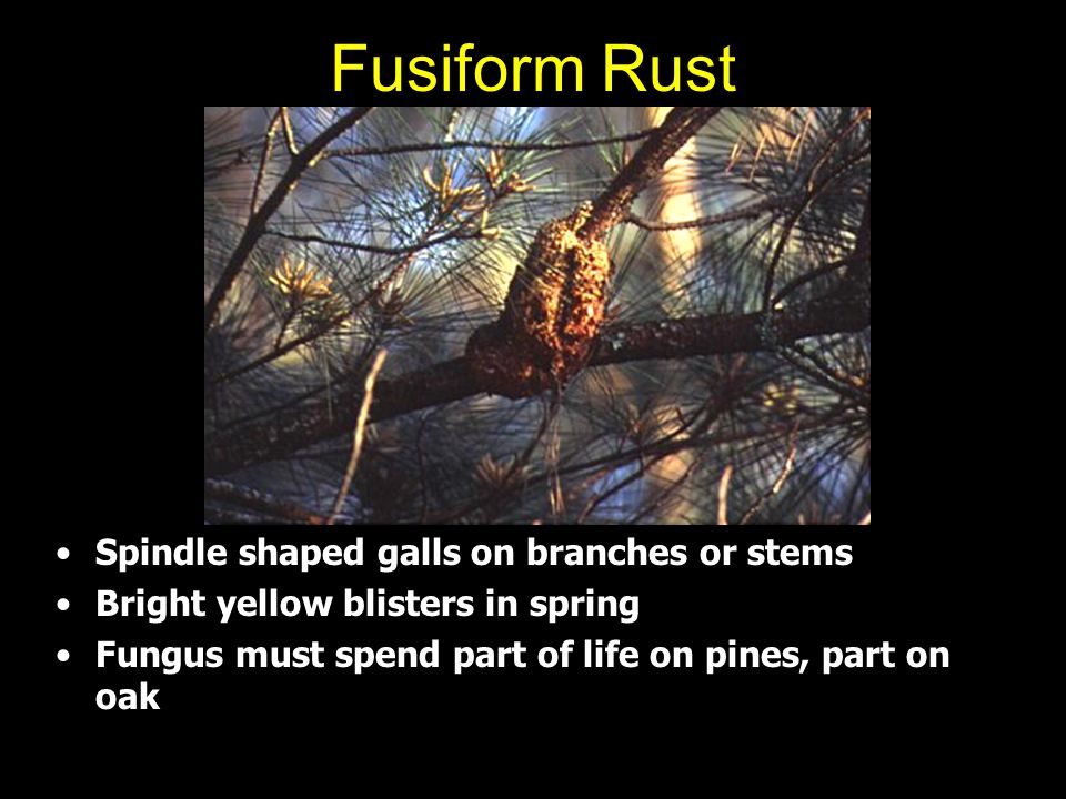 Fusiform Rust Spindle shaped galls on branches or stems