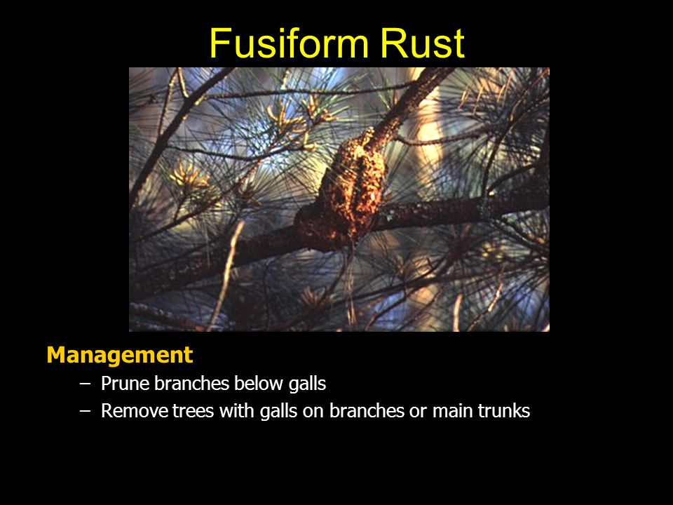 Fusiform Rust Management Prune branches below galls
