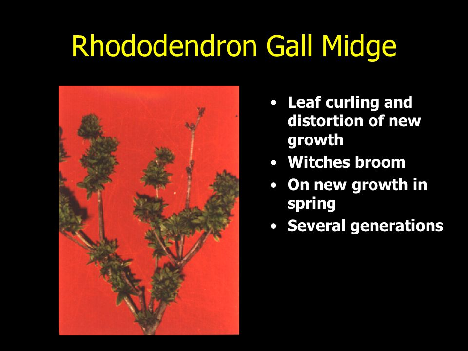 Rhododendron Gall Midge