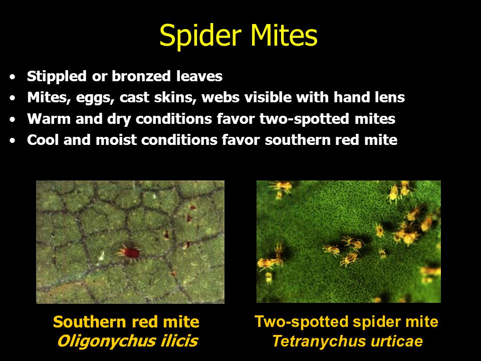 Spider Mites Southern red mite Oligonychus ilicis