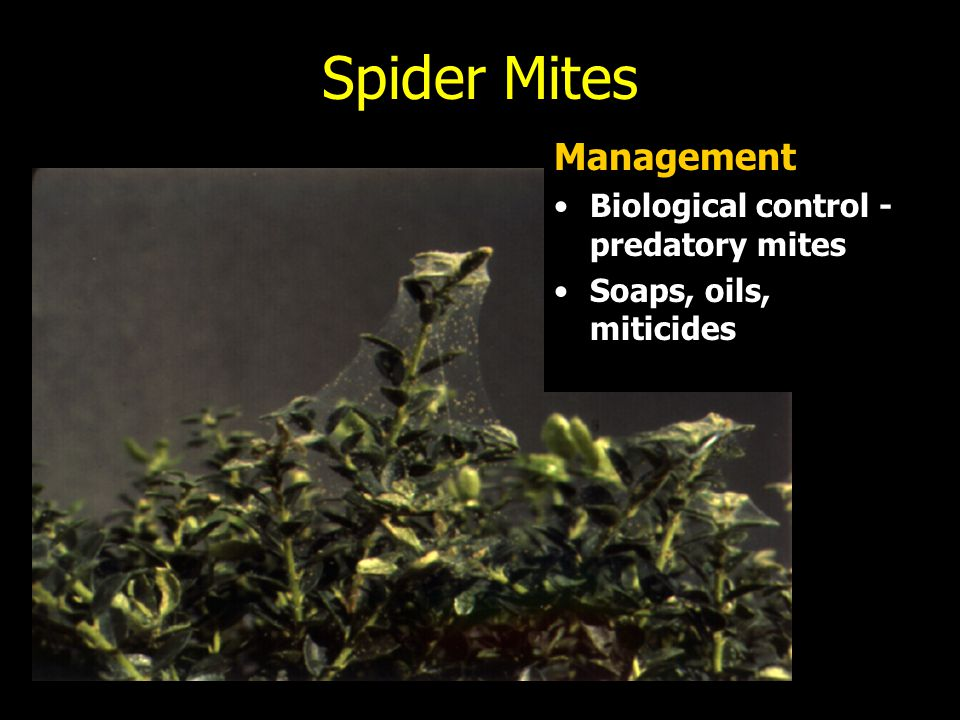 Spider Mites Management Biological control - predatory mites
