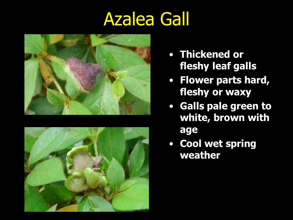Azalea Gall Thickened or fleshy leaf galls