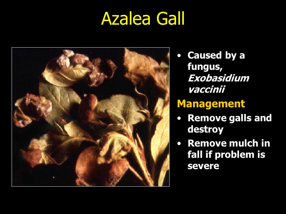 Azalea Gall Management Caused by a fungus, Exobasidium vaccinii