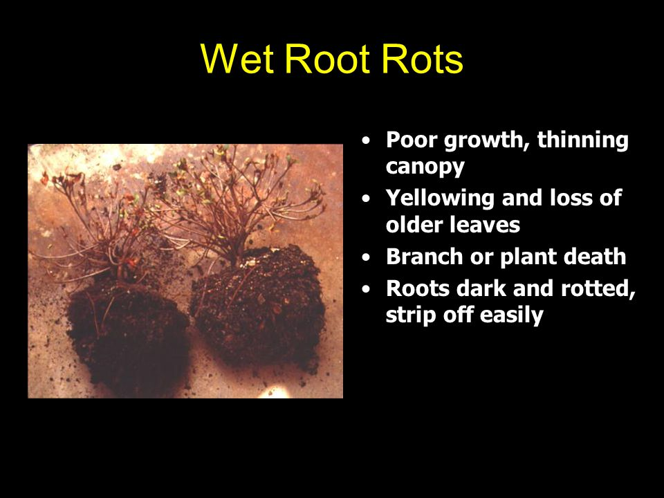 Wet Root Rots Poor growth, thinning canopy