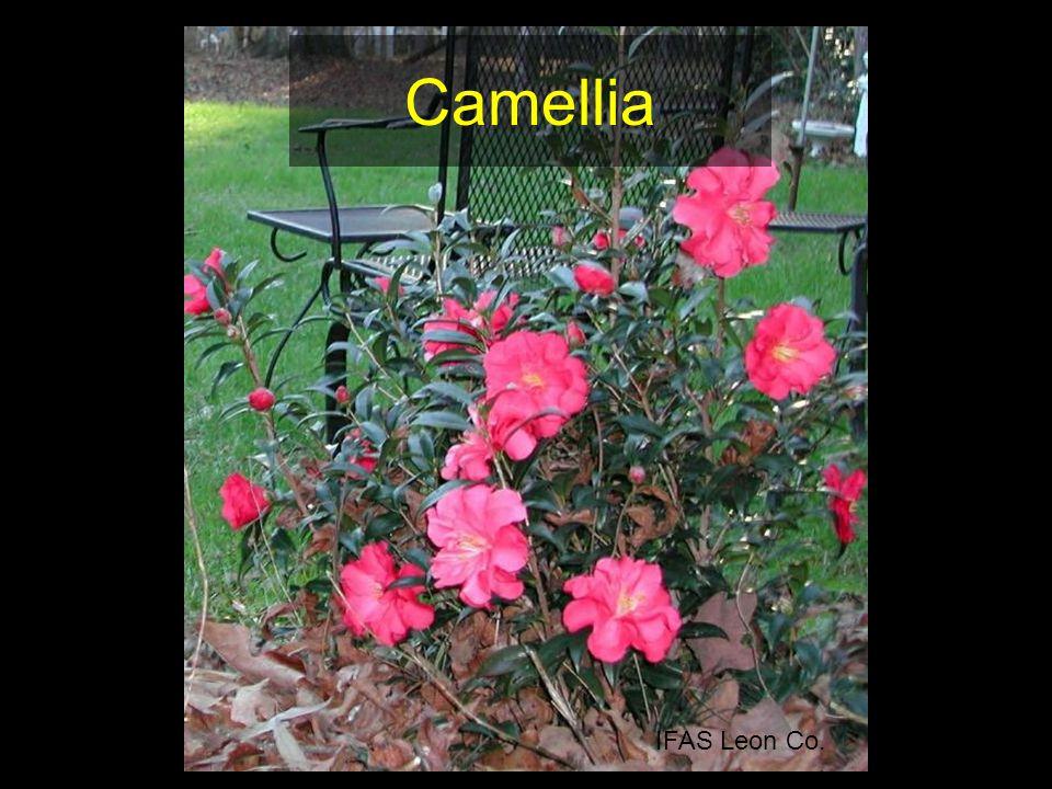 Camellia IFAS Leon Co.