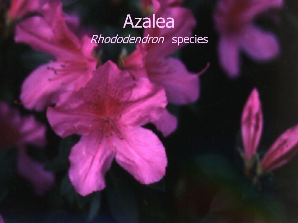 Azalea Rhododendron species
