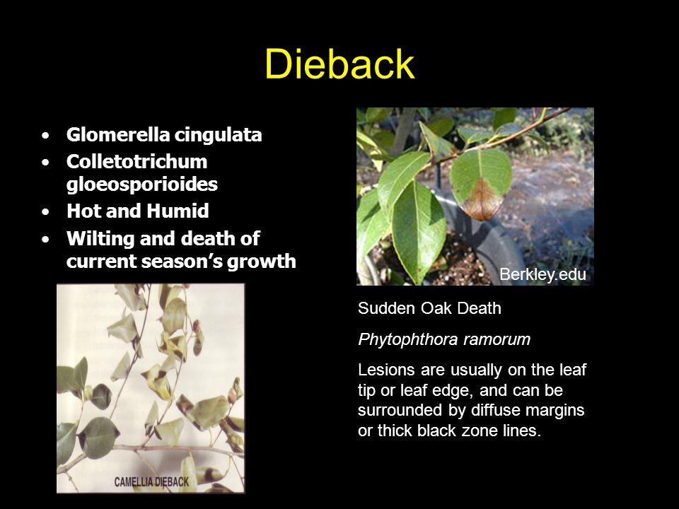 Dieback Glomerella cingulata Colletotrichum gloeosporioides