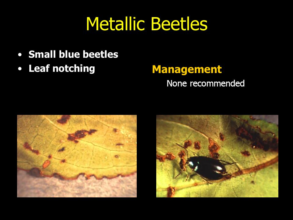 Metallic Beetles Management Small blue beetles Leaf notching
