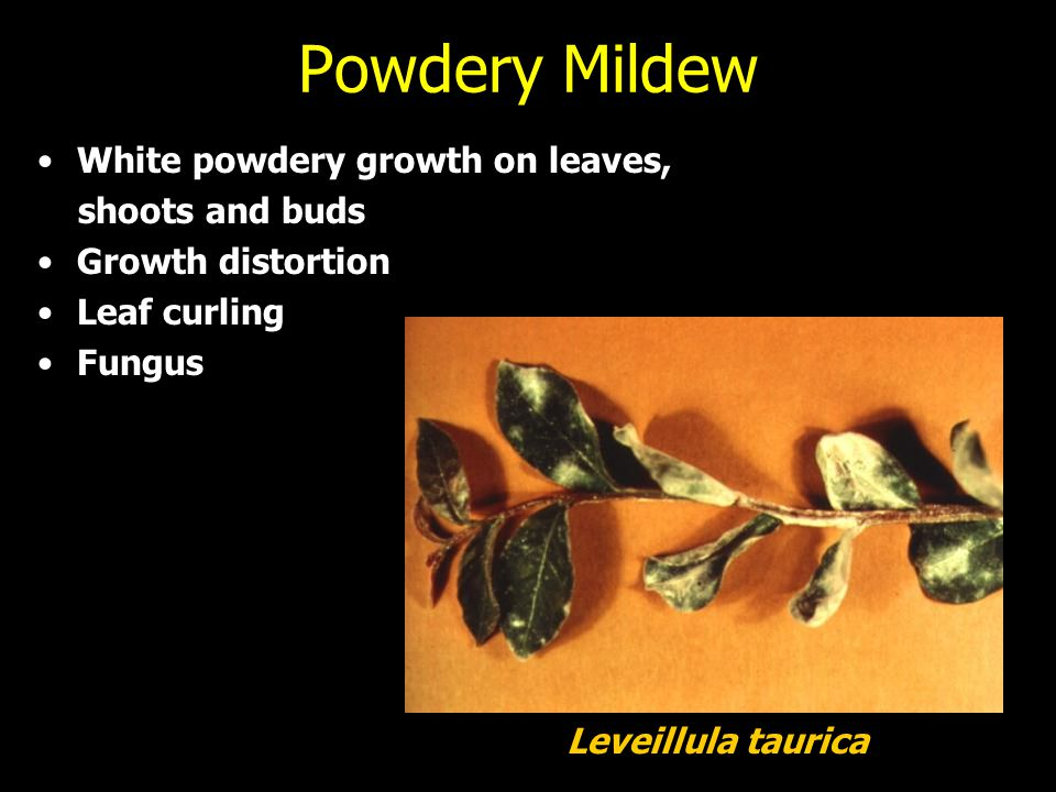Powdery Mildew White powdery growth on leaves, shoots and buds