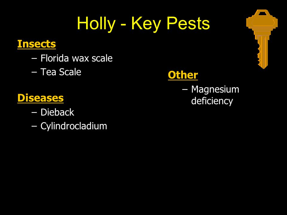 Holly - Key Pests Insects Diseases Other Florida wax scale Tea Scale