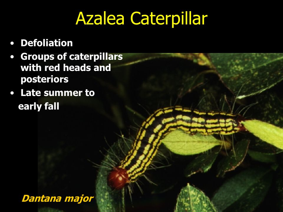 Azalea Caterpillar Defoliation