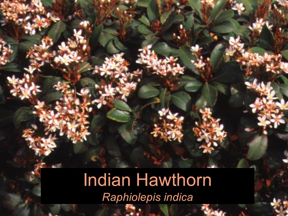 Indian Hawthorn Raphiolepis indica