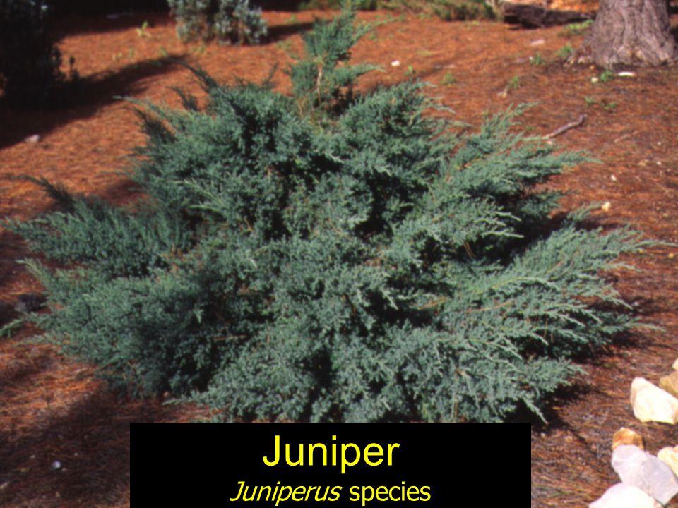 Juniper Juniperus species