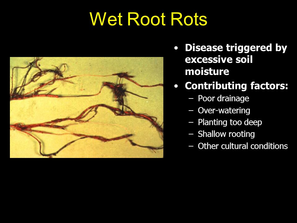 Wet Root Rots Disease triggered by excessive soil moisture