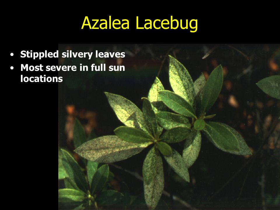 Azalea Lacebug Stippled silvery leaves