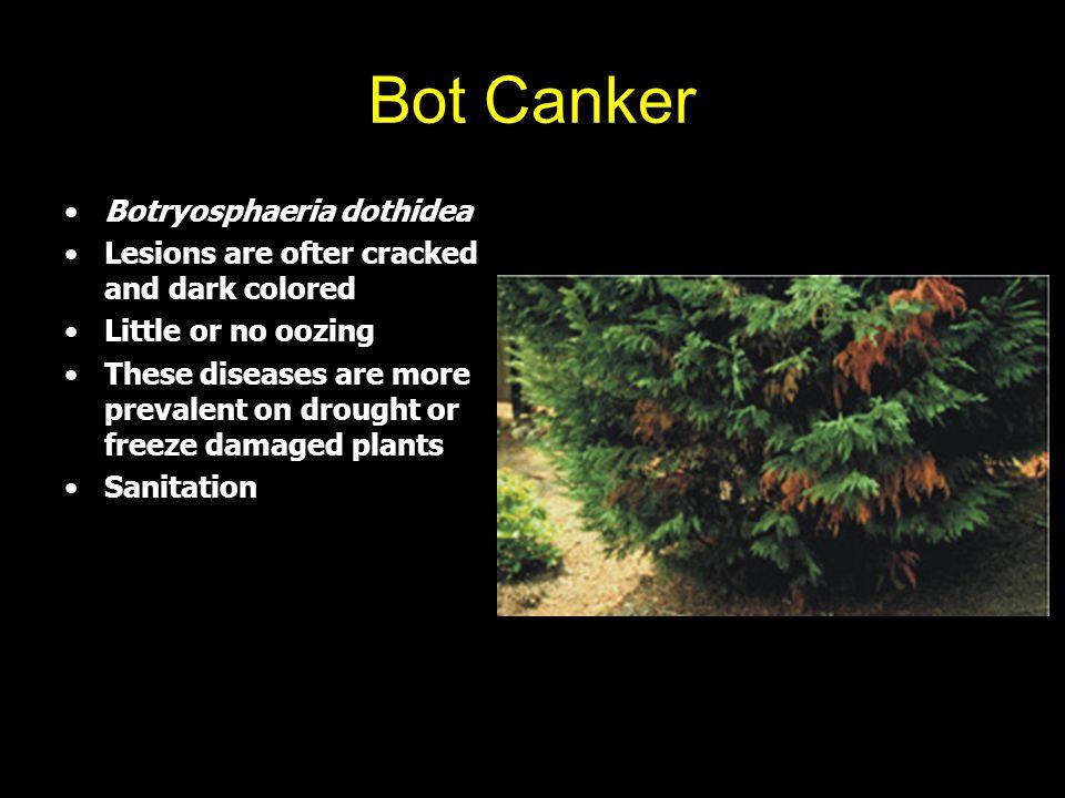 Bot Canker Botryosphaeria dothidea