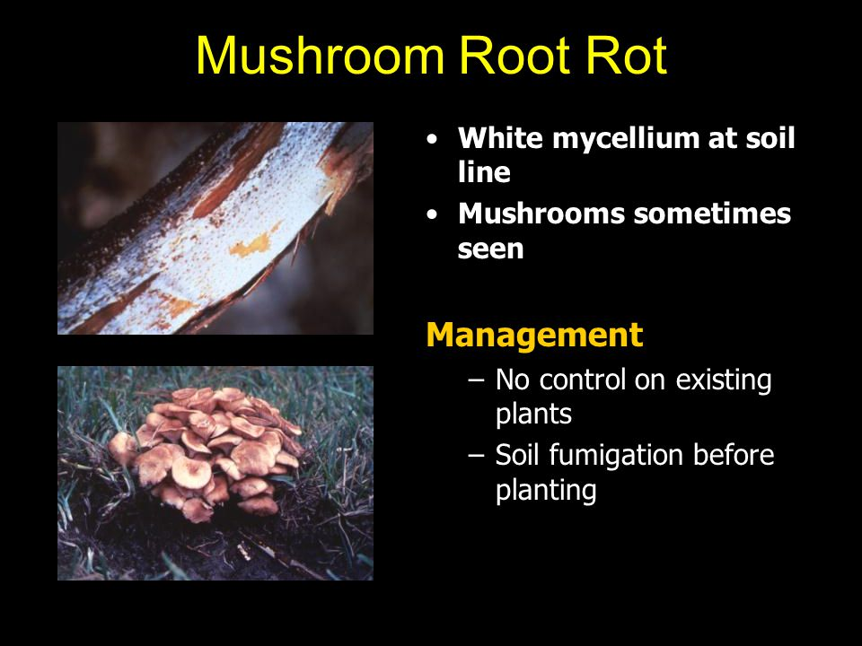 Mushroom Root Rot Management White mycellium at soil line