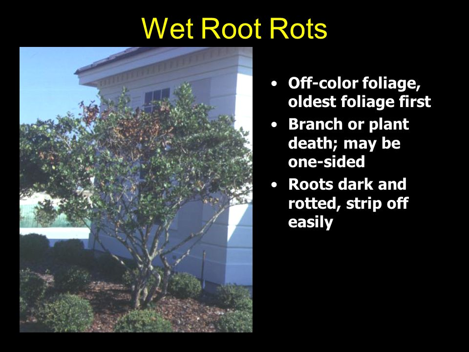 Wet Root Rots Off-color foliage, oldest foliage first