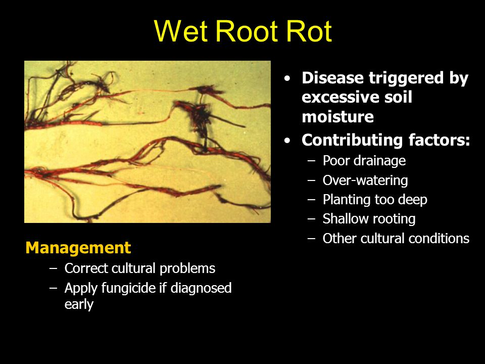 Wet Root Rot Disease triggered by excessive soil moisture