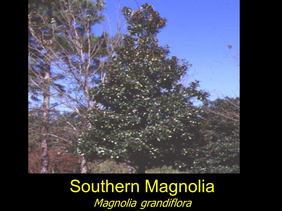 Southern Magnolia Magnolia grandiflora
