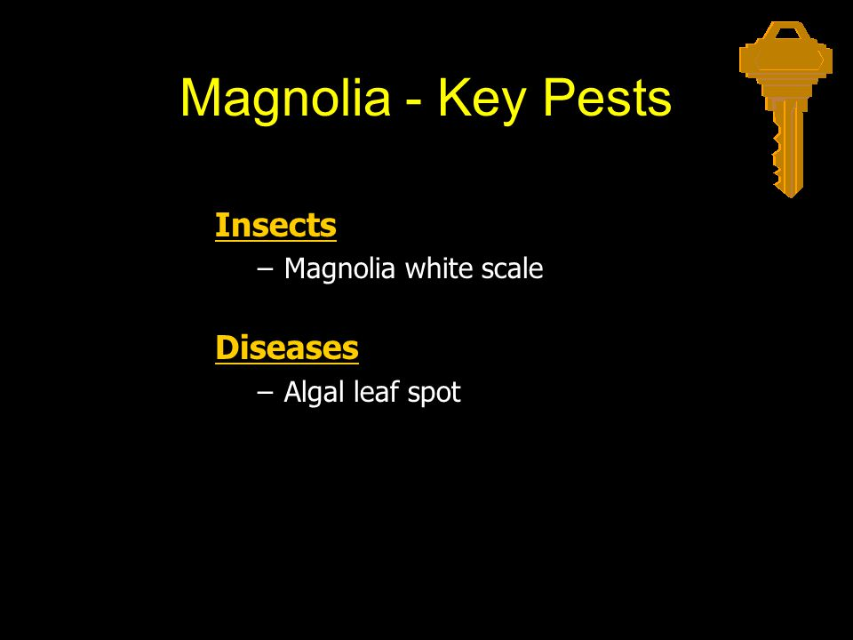 Magnolia - Key Pests Insects Diseases Magnolia white scale