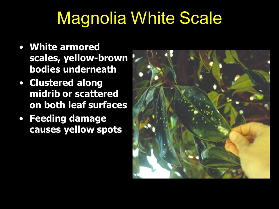 Magnolia White Scale White armored scales, yellow-brown bodies underneath. Clustered along midrib or scattered on both leaf surfaces.