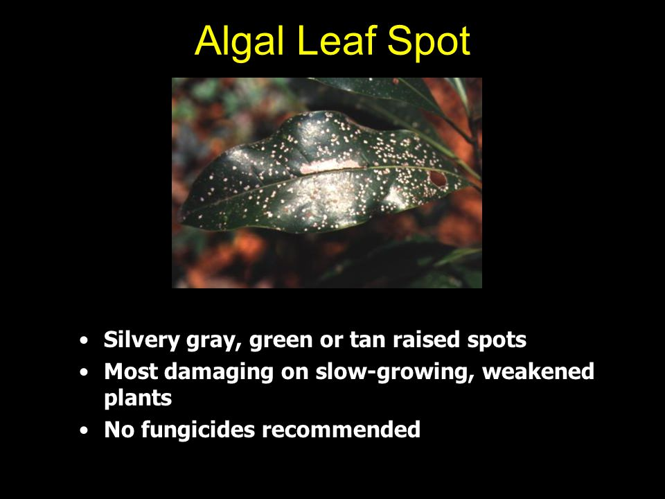 Algal Leaf Spot Silvery gray, green or tan raised spots
