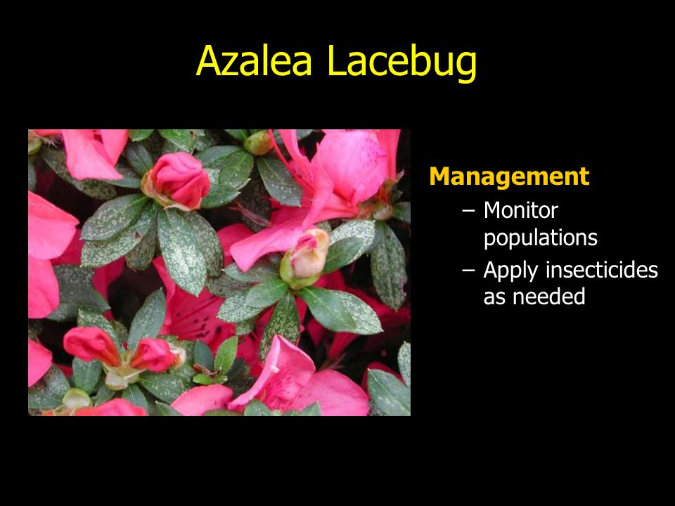 Azalea Lacebug Management Monitor populations