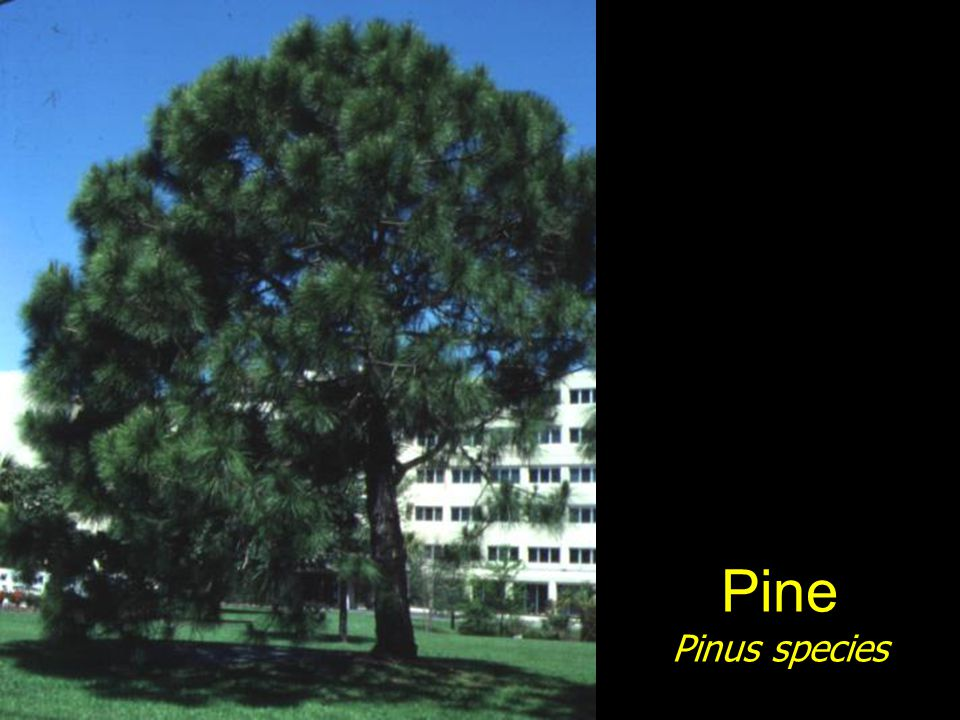 Pine Pinus species