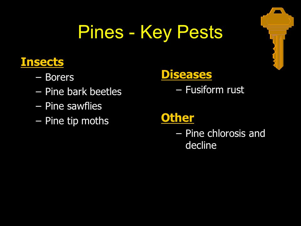 Pines - Key Pests Insects Diseases Other Borers Pine bark beetles
