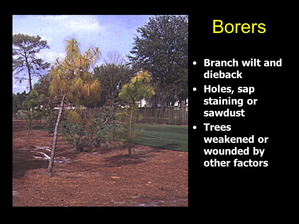 Borers Branch wilt and dieback Holes, sap staining or sawdust