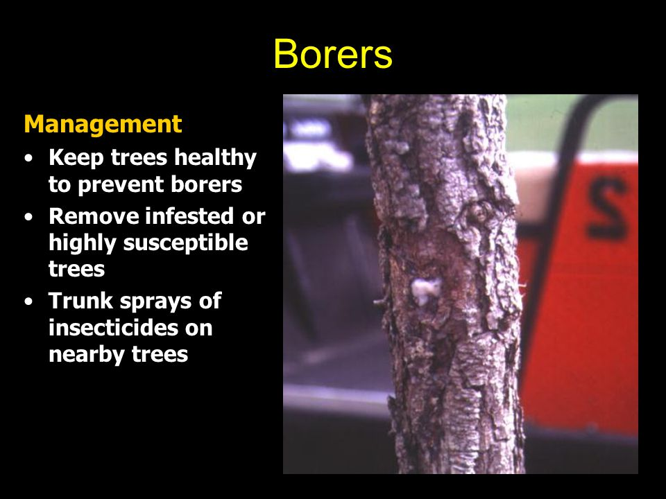 Borers Management Keep trees healthy to prevent borers