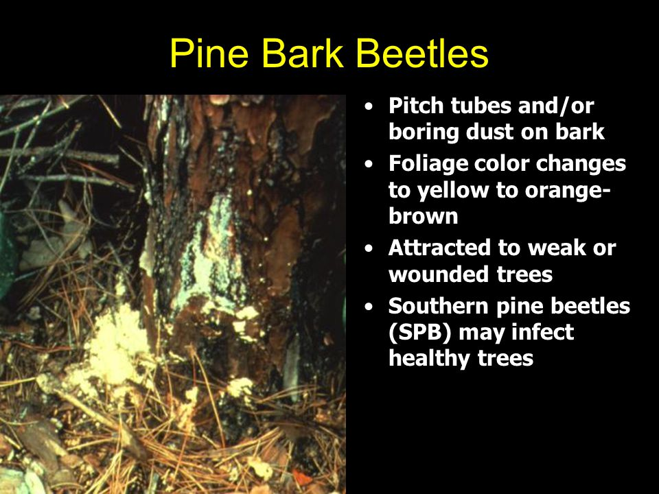 Pine Bark Beetles Pitch tubes and/or boring dust on bark